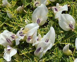 REAR ASTRAGALUS SPECIES THAT SPREAD IN THE NAKHCHIVAN AUTONOMOUS REPUBLIC TERRITORY