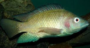 PRESENT ICHTHYOFAUNAL STATUS OF EXOTIC FISHES FROM MARATHWADA REGION, MAHARASHTRA, INDIA