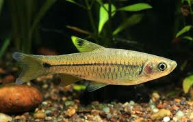 TOXICITYAND BIOACCUMULATION OF CADMIUM IN THE FISH, RASBORA - DANICONIUS