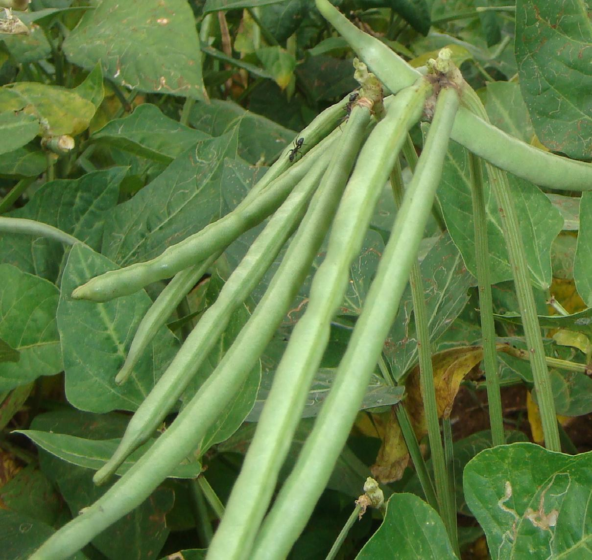 IDENTIFICATION OF FACTOR THAT AFFECT TECHNICAL EFFICIENCY OF COWPEA PRODUCTION IN ADAMAWA STATE, NIGERIA