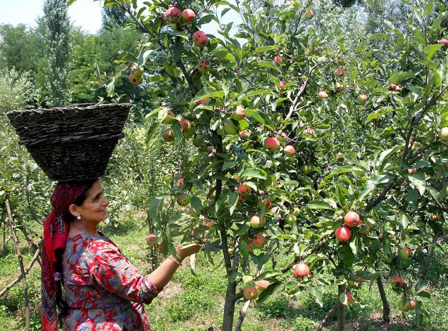 IMPACT OF SCAB ON APPLE PRODUCTION IN BARAMULLAH,  KASHMIR : A CASE STUDY