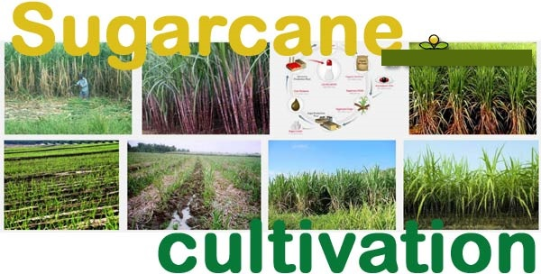 """COST BENEFIT ANALYSIS OF SUGARCANE CULTIVATION  OF WALWA TAHSIL"""
