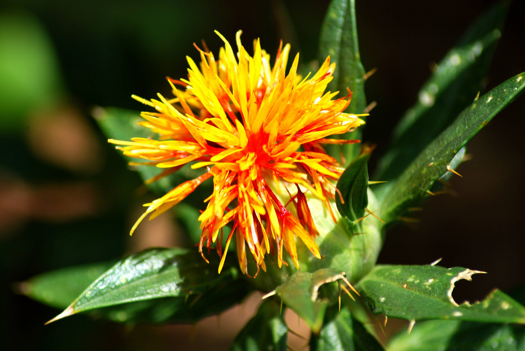 SEED PROTEIN VARIABILITY IN SIX DIFFERENT VARIETIES OF  SAFFLOWER (CARTHUMUS TINCTORIUS L.) SEEDS BY SDS-PAGE.