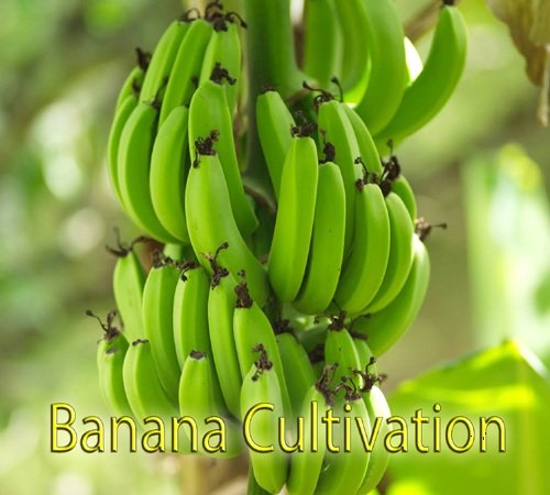 A STUDY ON PRODUCTION PROBLEMS FACED BY BANANA  CULTIVATORS IN TAMILNADU – WITH SPECIAL REFERENCE  TO TIRUCHIRAPPALLI AND THANJAVUR DISTRICTS