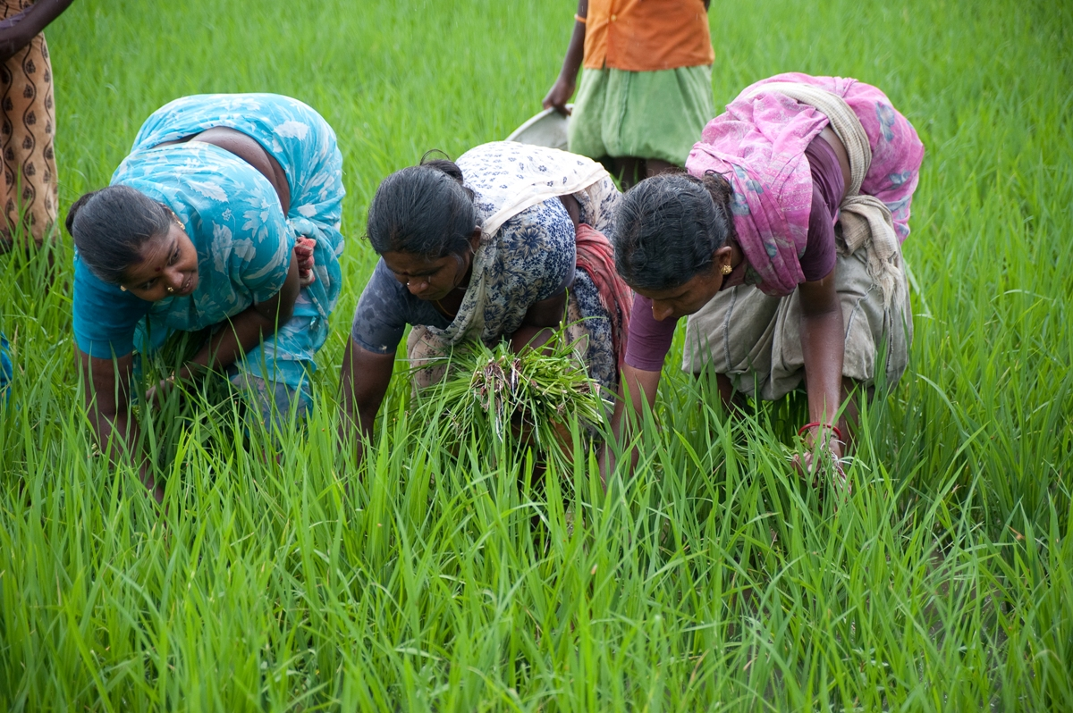 STATUS OF WOMEN LABOUR IN AGRICULTURE  (A case study of Guntur district in Andhra Pradesh)