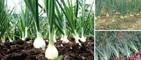 ONION PRODUCTION AND ITS STORAGE PROBLEM