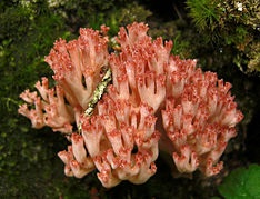 STUDIES ON GROWTH CONDITIONS OF WILD EDIBLE  MUSHROOM RAMARIA BOTRYTIS (FR.) RICKEN  SELECTED FROM NORTH WEST HIMALAYAN REGION