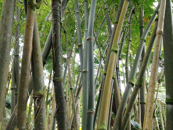 DENDROCALAMUS STRICTUS : BAMBOO PLANT  AND ITS UTILITY