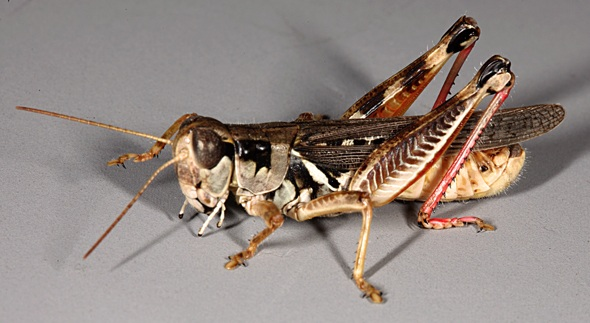 BIODIVERSITY OF GRASSHOPPERS IN WASHIM  DISTRICT (MAHARASHTRA), INDIA