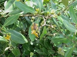 ANTIBACTERIAL CAPABILITY OF MANGROVE  PLANT AVICENNIA MARINA AGAINST A  CLINICAL PATHOGEN