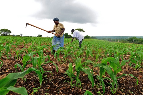 ANALYSIS OF TECHNICAL EFFICIENCY OF SMALL HOLDERS ORGANIC MAIZE FARMERS  IN RWANDA: A PARAMETRIC FRONTIER APPROACH
